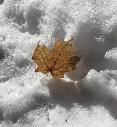 March Maple Leaf-Potsdam, NY